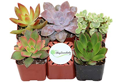 Shop Succulents Unique Succulent